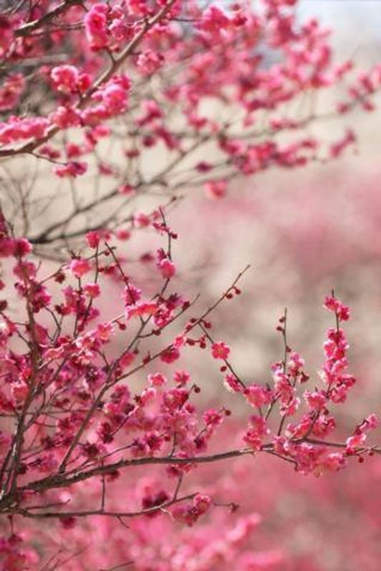 Sakura Wallpaper Hd For Android Apk Download