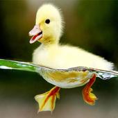 Duck Theme icon