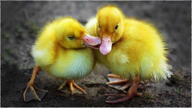 Duck Theme apk screenshot