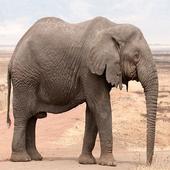 Elephant Backgrounds icon