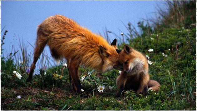 Fox Backgrounds apk screenshot