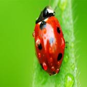 Ladybug Wallpapers icon