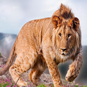 Lion Wallpapers icon