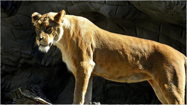 Lion Wallpapers screenshot 2