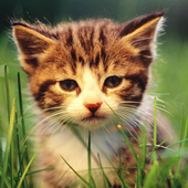 Kitties Wallpapers HD icon