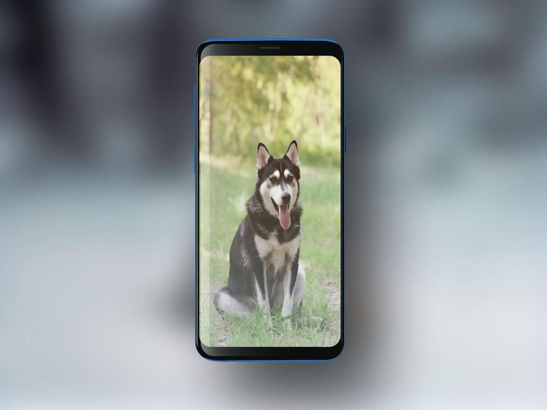 Siberian Husky Hd Wallpapers For Android Apk Download