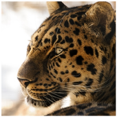 Leopard Wallpapers icon