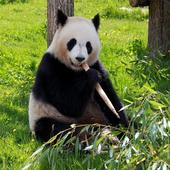 Panda Wallpapers icon