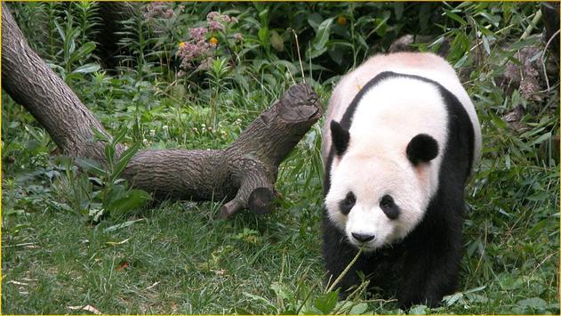 Panda Wallpapers screenshot 17