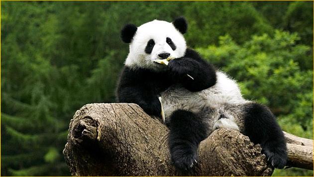 Panda Wallpapers screenshot 18
