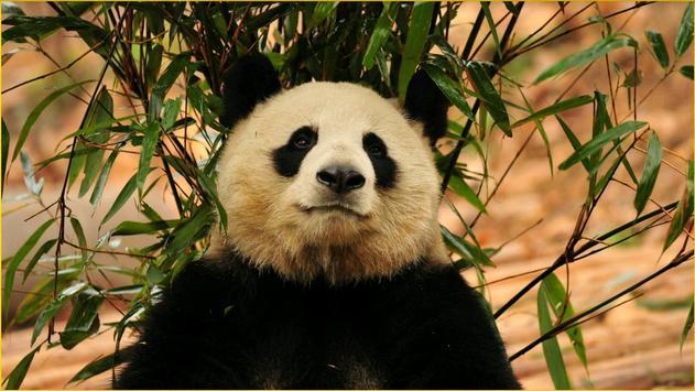Panda Wallpapers screenshot 20