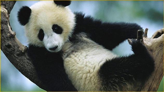 Panda Wallpapers screenshot 5