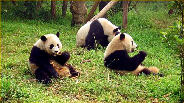Panda Wallpapers screenshot 8