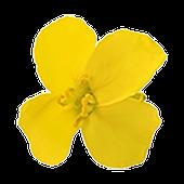 O'lite - Canola Flower Game icon