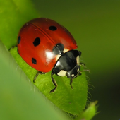 Coccinelle Water LWP icon