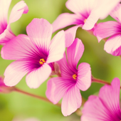 Flowers Water LWP icon