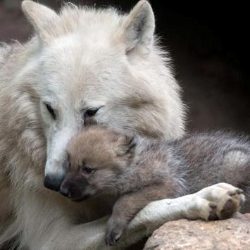Wolves Water LWP apk screenshot
