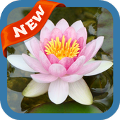 Waterlily Wallpaper icon