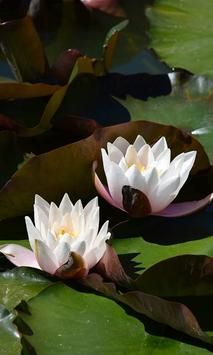 Waterlily Wallpaper screenshot 7