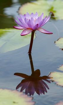 Waterlily Wallpaper screenshot 3