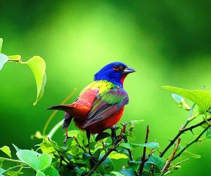 Bird Wallpaper Ringtone apk screenshot