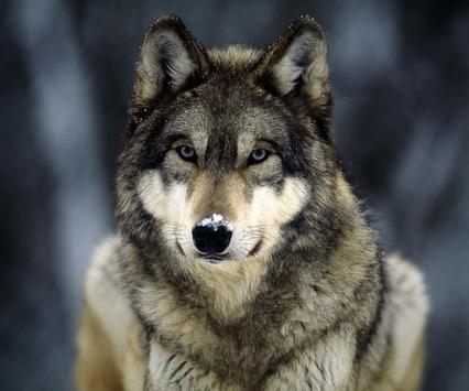 Wolf Wallpaper Ringtone poster