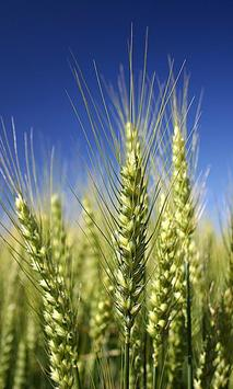 Wheat Wallpaper poster