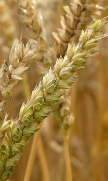 Wheat Wallpaper screenshot 2
