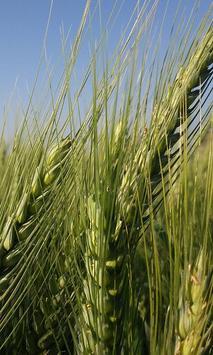 Wheat Wallpaper screenshot 7