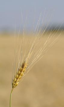 Wheat Wallpaper screenshot 5