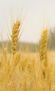 Wheat Wallpaper screenshot 6