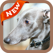 Whippet Wallpaper icon