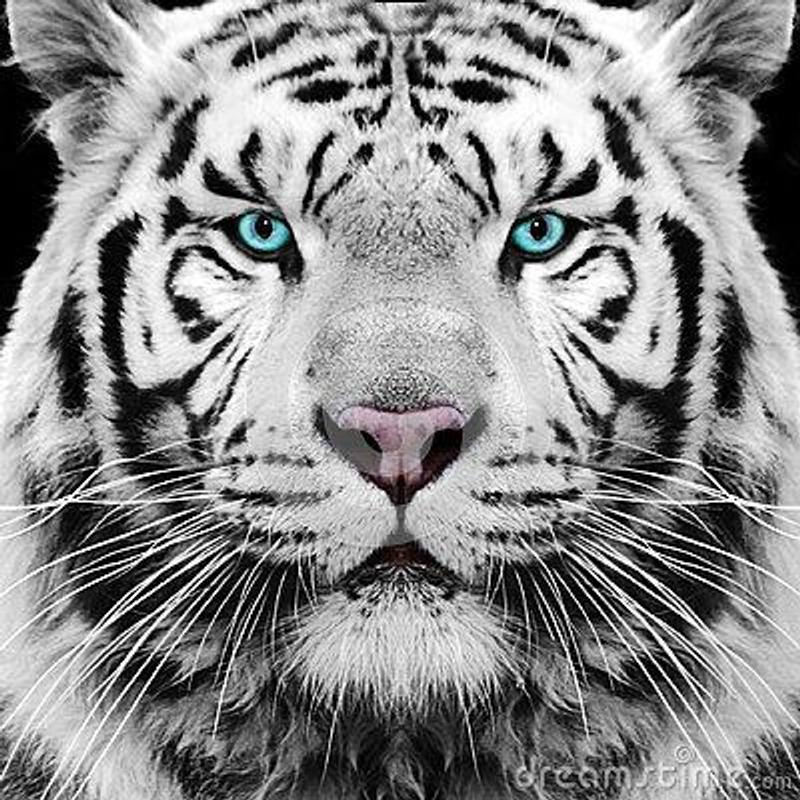 white tiger wallpaper apk download gratis personalisasi