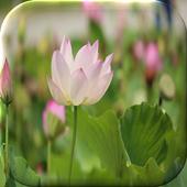 Lotus Flower Live Wallpaper icon