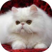 Gambar Kucing Persia icon