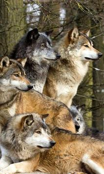 wolves live wallpaper poster