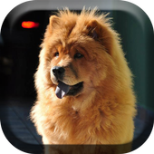 Cute Chow Chow Dog Live icon