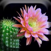 Cactus Flowers Live Wallpaper icon