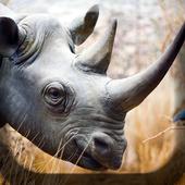 Rhino Kiss Live Wallpaper icon