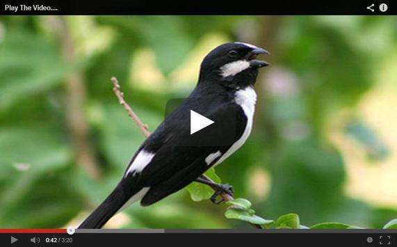 Canto do pássaro bigode apk screenshot