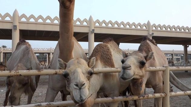 Eid Ul Adha Camel Qurbani poster