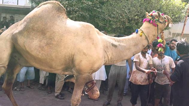 Eid Ul Adha Camel Qurbani apk screenshot