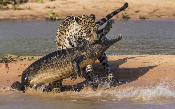 Crocodile predation apk screenshot