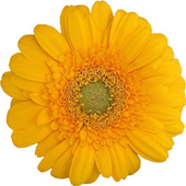 Flower Gerbera Theme for Xperia icon
