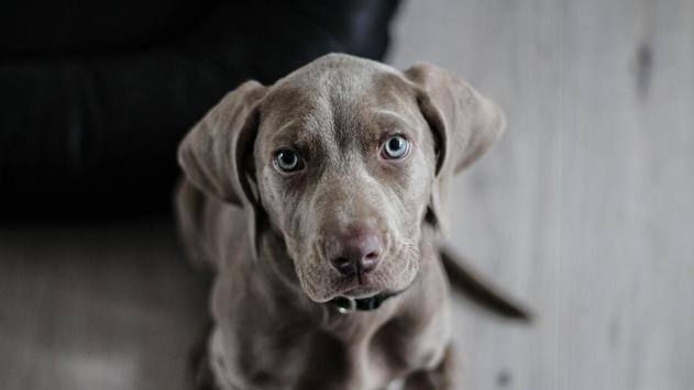 Pet Wallpaper HD - dog and puppy screenshot 8