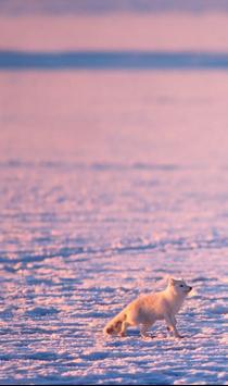 Polar Bears ONline cam poster