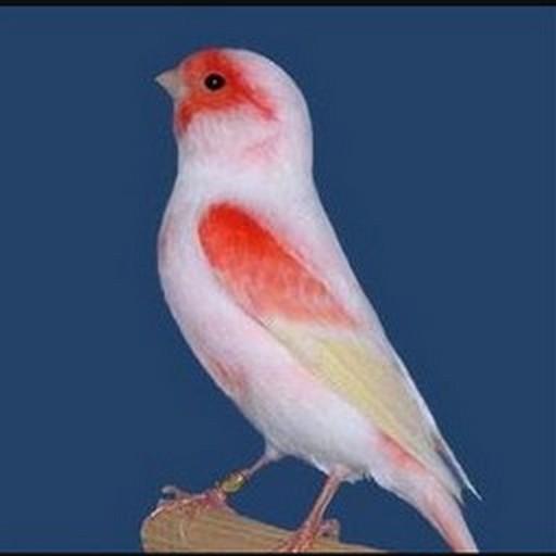 Master Kicau Burung Kenari For Android Apk Download