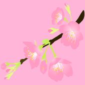 Sakura Concentration icon