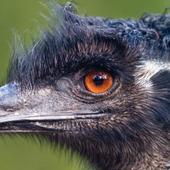 Cute Emu Wallpapers HD FREE icon