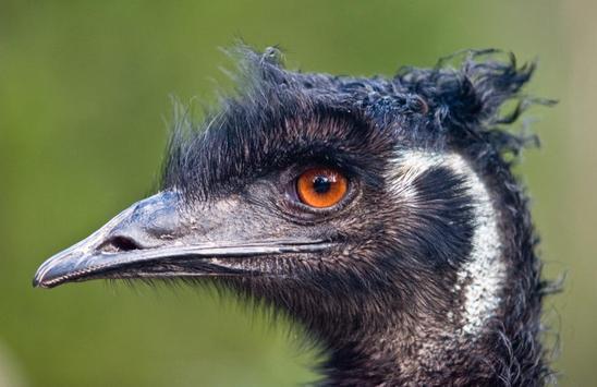 Cute Emu Wallpapers HD FREE poster